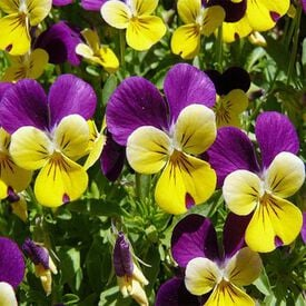 Johnny Jump Up, Viola Seeds