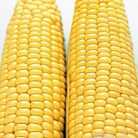 Sugar Buns, (F1) Corn Seed