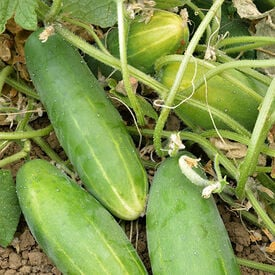 Poinsett 76, Organic (F1) Cucumber Seeds
