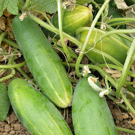 Poinsett 76, Organic Cucumber Seeds - Packet image number null
