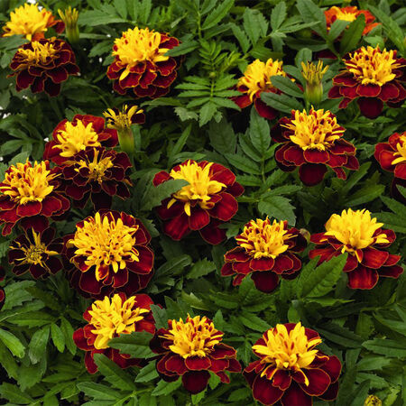 Super Hero Spry, Marigold Seeds image number null