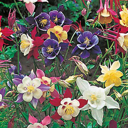 McKana Giant Mix, Aquilegia (Columbine) - Packet image number null