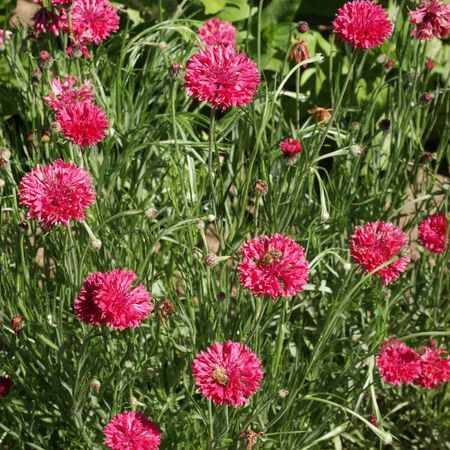 Tall Red, Cornflower Seeds - Packet image number null