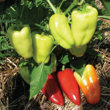 Gypsy, Pepper Seeds - Packet image number null