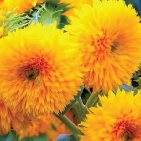 Dwarf Sungold Double, Sunflower Seeds - Packet image number null