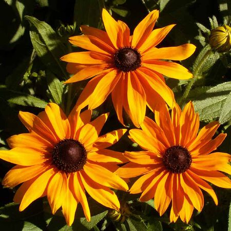 Marmalade, Rudbeckia Seeds - Packet image number null