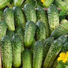 Sumter, Organic (F1) Cucumber Seeds