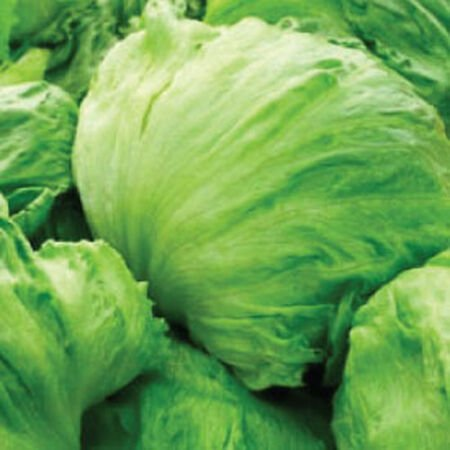 Iceberg, Lettuce Seeds - Packet image number null