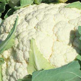 Snowball Y Improved, Cauliflower Seeds