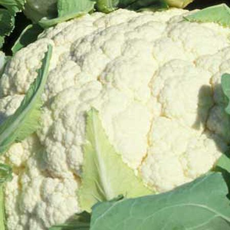 Snowball Y Improved, Cauliflower Seeds image number null