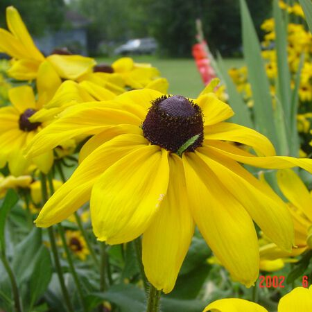 Yellow, Echinacea Seed - Packet image number null