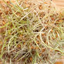 Hard Red Wheat, Sprout Seeds - 1 Pound thumbnail number null