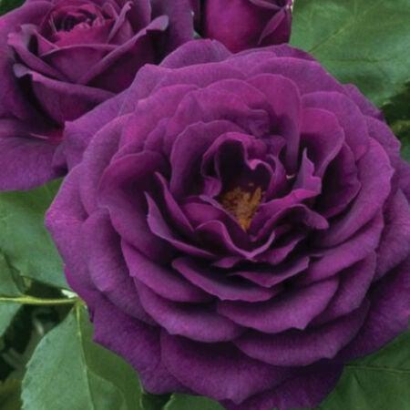 Purple Bush, Rose Seeds - Packet image number null