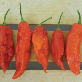 Red Bhut Jolokia (Ghost), Pepper Seeds