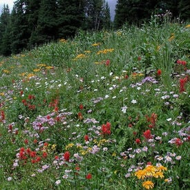 Intermountain Native Blend, Wildflower Seed