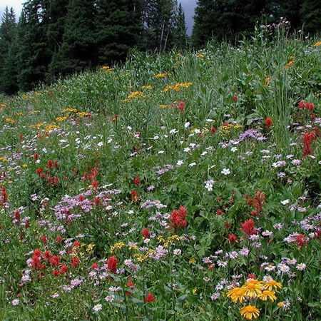 Intermountain Native Blend, Wildflower Seed - 1 Ounce image number null