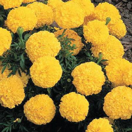 Yellow Inca II, Marigold Seeds - Packet image number null