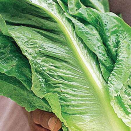 Parris Island Cos, Lettuce Seeds - Packet image number null