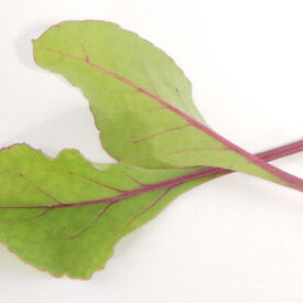 Early Wonder Beet, Microgreen Seeds