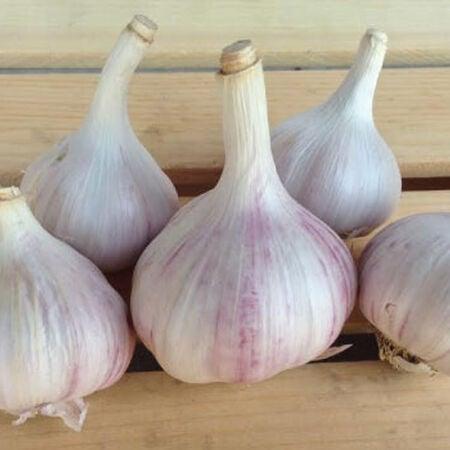 Chesnok Red, Garlic Seed image number null