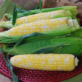 Temptress, (F1) Corn Seed
