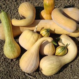 Baker's Choice Marbled, (F1) Squash Seeds