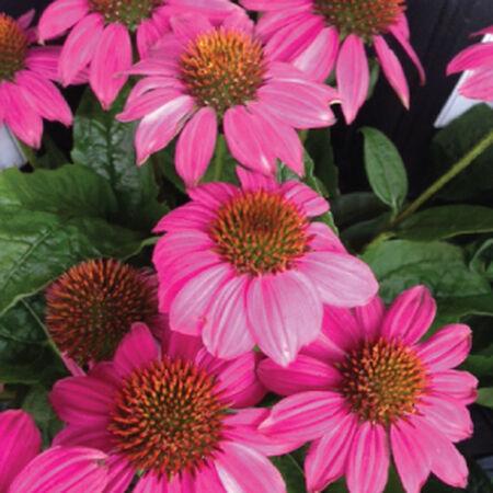 Bravado, Echinacea Seeds image number null