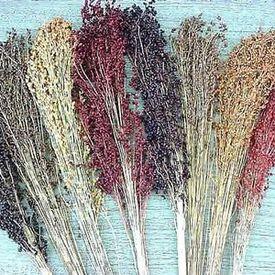 Broom Blend, Corn Seed