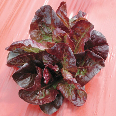 Continuity, Lettuce Seeds - Packet image number null