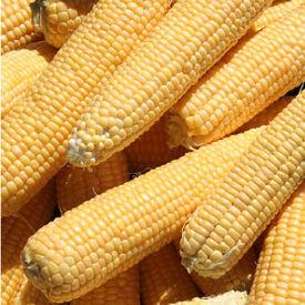 Kandy Korn, (F1) Corn Seed