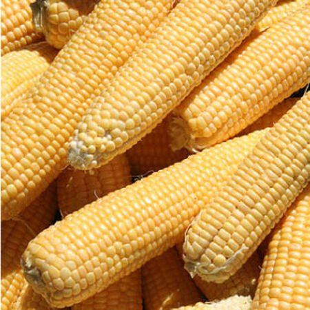 Kandy Korn, Corn Seed - Packet (1 oz.) image number null