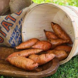 """Bunch"" Porto Rico, Sweet Potato Slips"