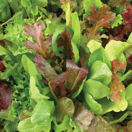 Garden Leaf Blend, Lettuce Seeds - Packet image number null