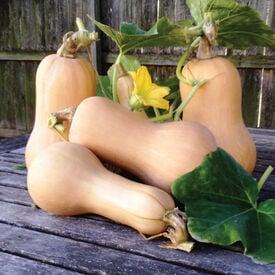 Waltham Butternut, Organic Squash Seeds