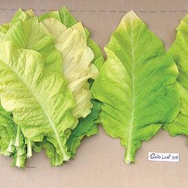 Gold Leaf 939, Tobacco Seed