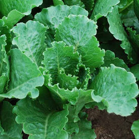 Crisp Mint, Lettuce Seeds