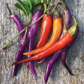 Buena Mulata, Pepper Seeds
