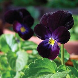 Blackjack, Viola Seeds