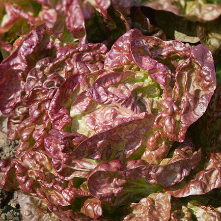 Sweet Valentine, Lettuce Seeds - Packet image number null