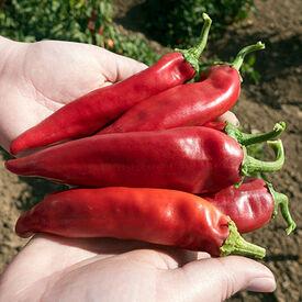 Joe Parker, Organic Pepper Seeds