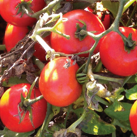 Heinz 2274, Tomato Seeds - Packet image number null