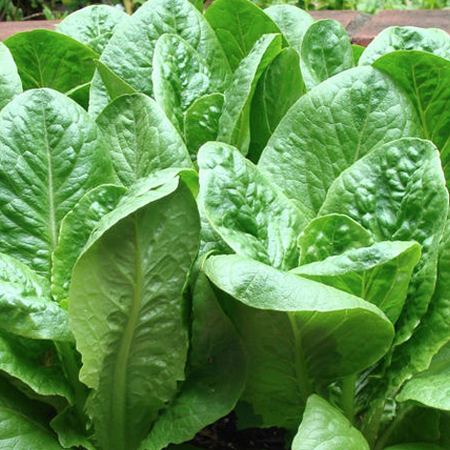 Dwarf Romaine, Lettuce Seeds - Packet image number null