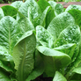 Dwarf Romaine, Lettuce Seeds - Packet thumbnail number null