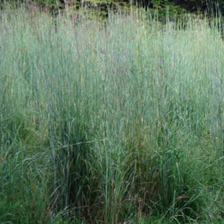 Big Bluestem, Ornamental Grass Seed - Packet image number null