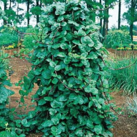 Malabar Red Stem, Spinach Seeds
