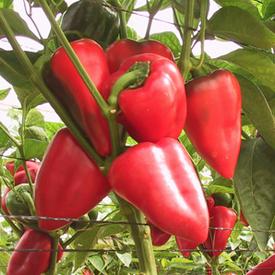 Salsa, (F1) Pepper Seeds