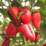 Salsa, Pepper Seeds - Packet thumbnail number null
