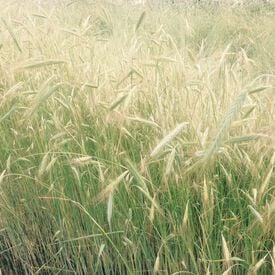 Winter Rye, Grains