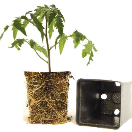 Better Boy, (F1) Tomato Plants image number null