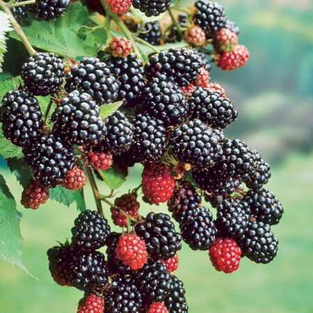 Cheyenne, Blackberry Plant image number null
